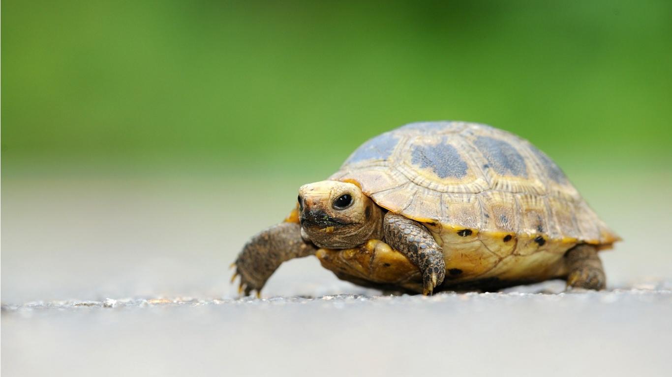Cute Little Turtle Wallpapers - 1366x768 - 189544
