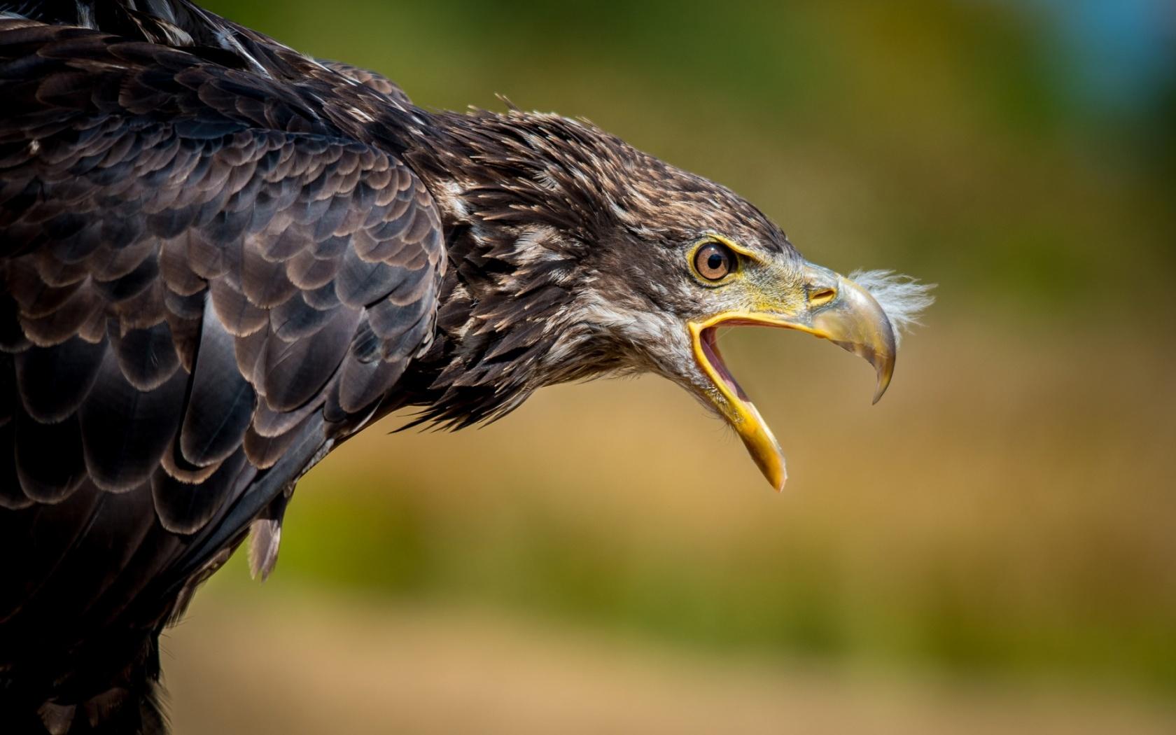 Eagle beak - photo#24