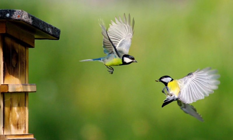 Eurasian Blue Tit Couple