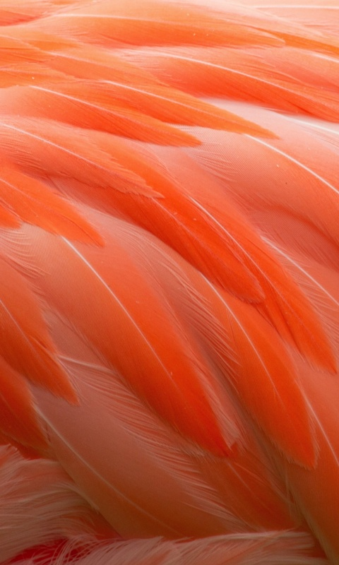 Flamingos Feathers