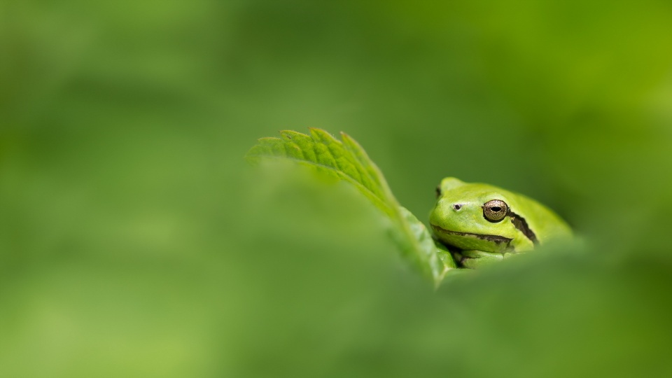 Frog With Green Nature
