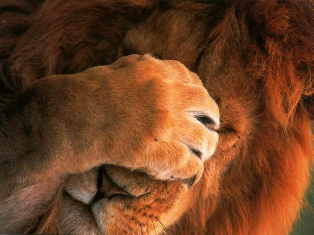 Funny Lion Wallpapers And Pictures