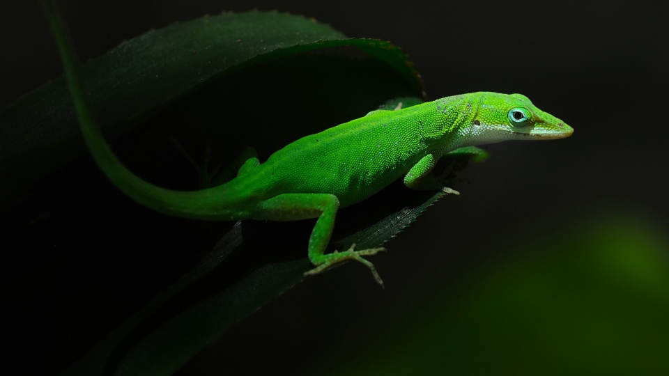 Geckos Lizards Green Leaf Wallpapers
