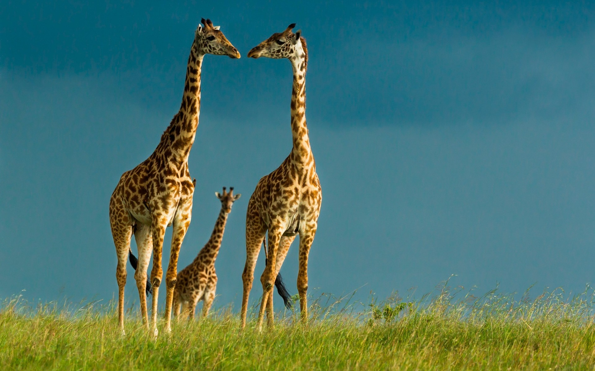 Giraffe Couple Love