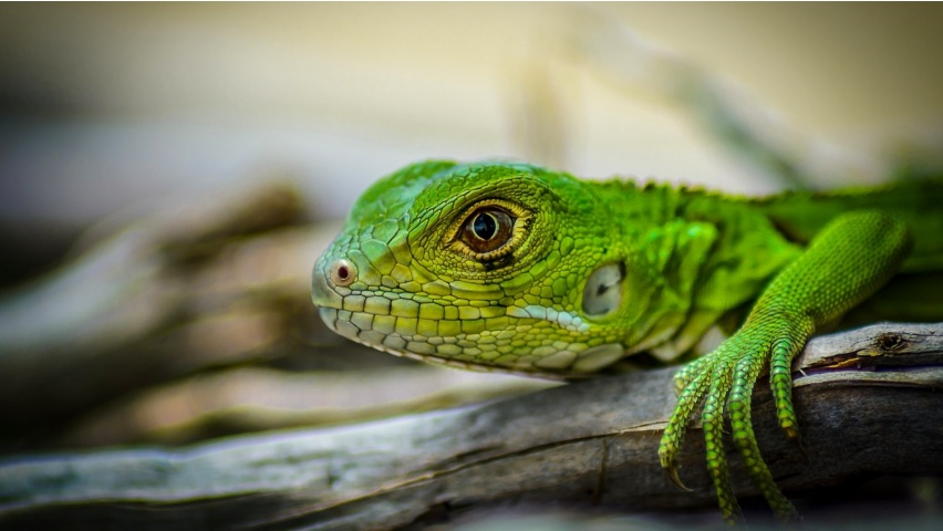 Green Iguana Lizards Head