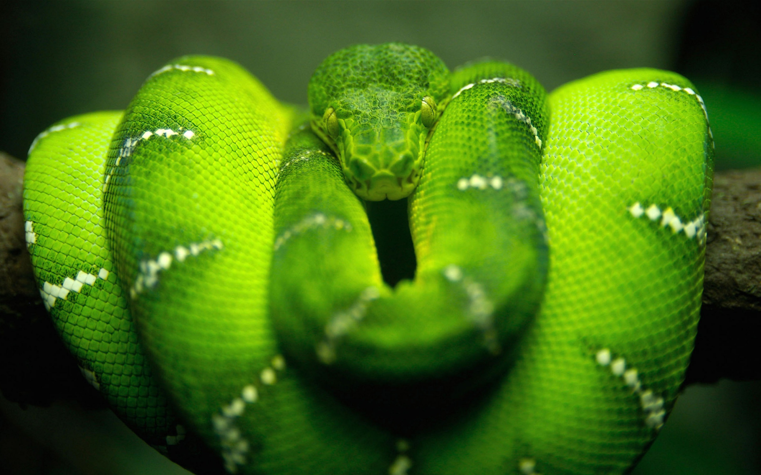 Green Tree Snake Wallpaper And Pictures