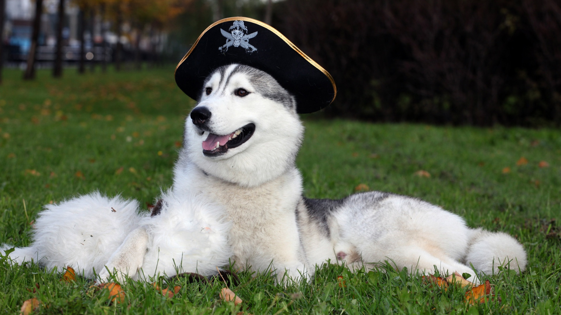 Husky Dog With Hat Wallpapers
