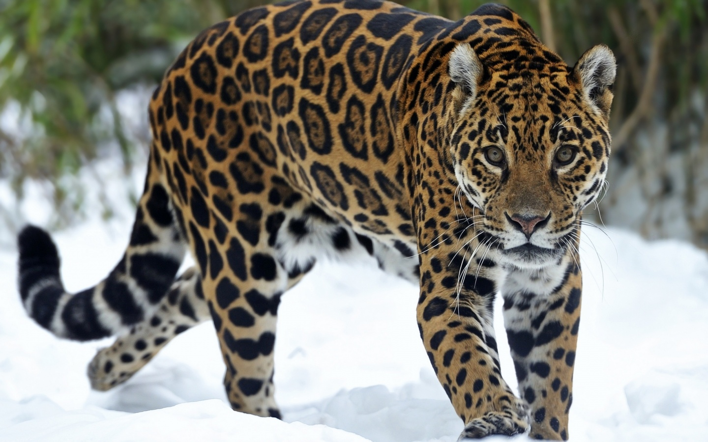 Jaguar Beautiful Eyes