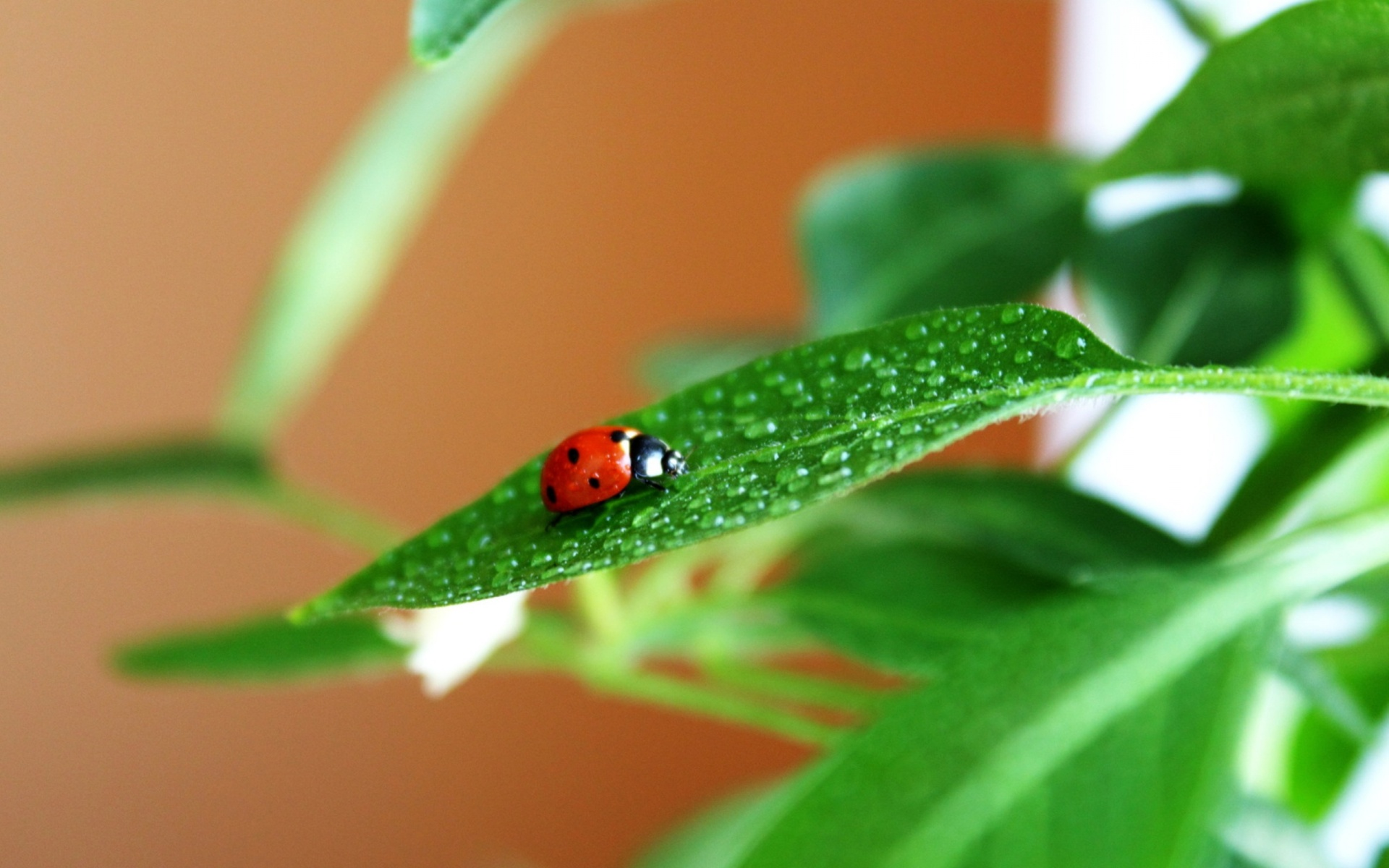 Ladybug On Green Leaves