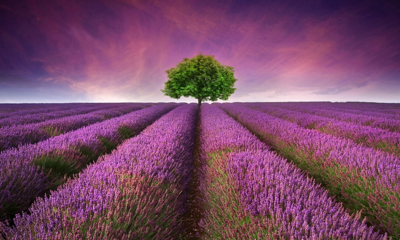 Lavender Field Tree
