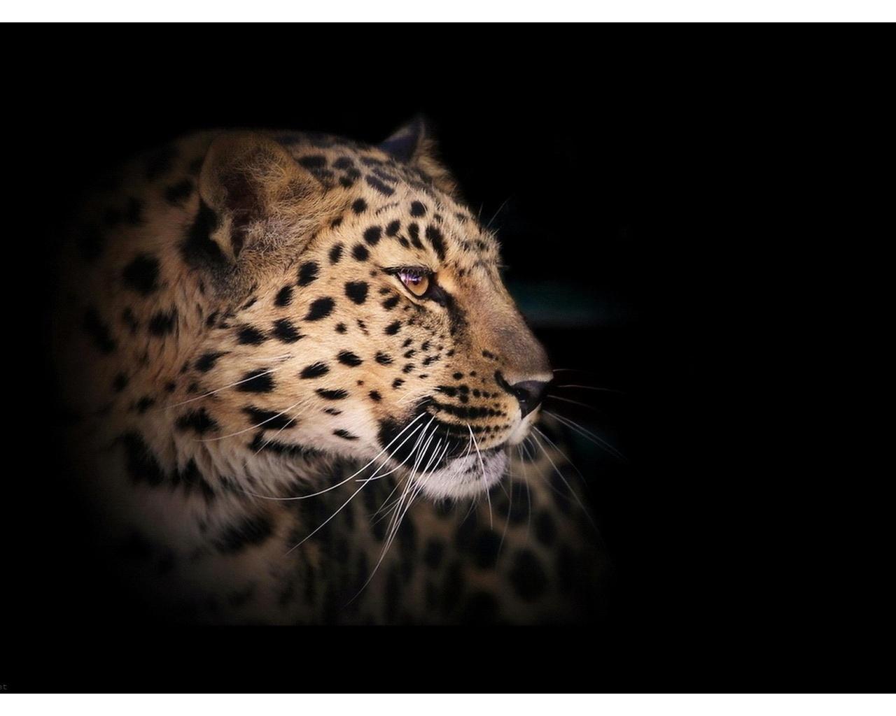 Leopard Wild Cat A Dark Wallpapers - 1280x1024 - 204596