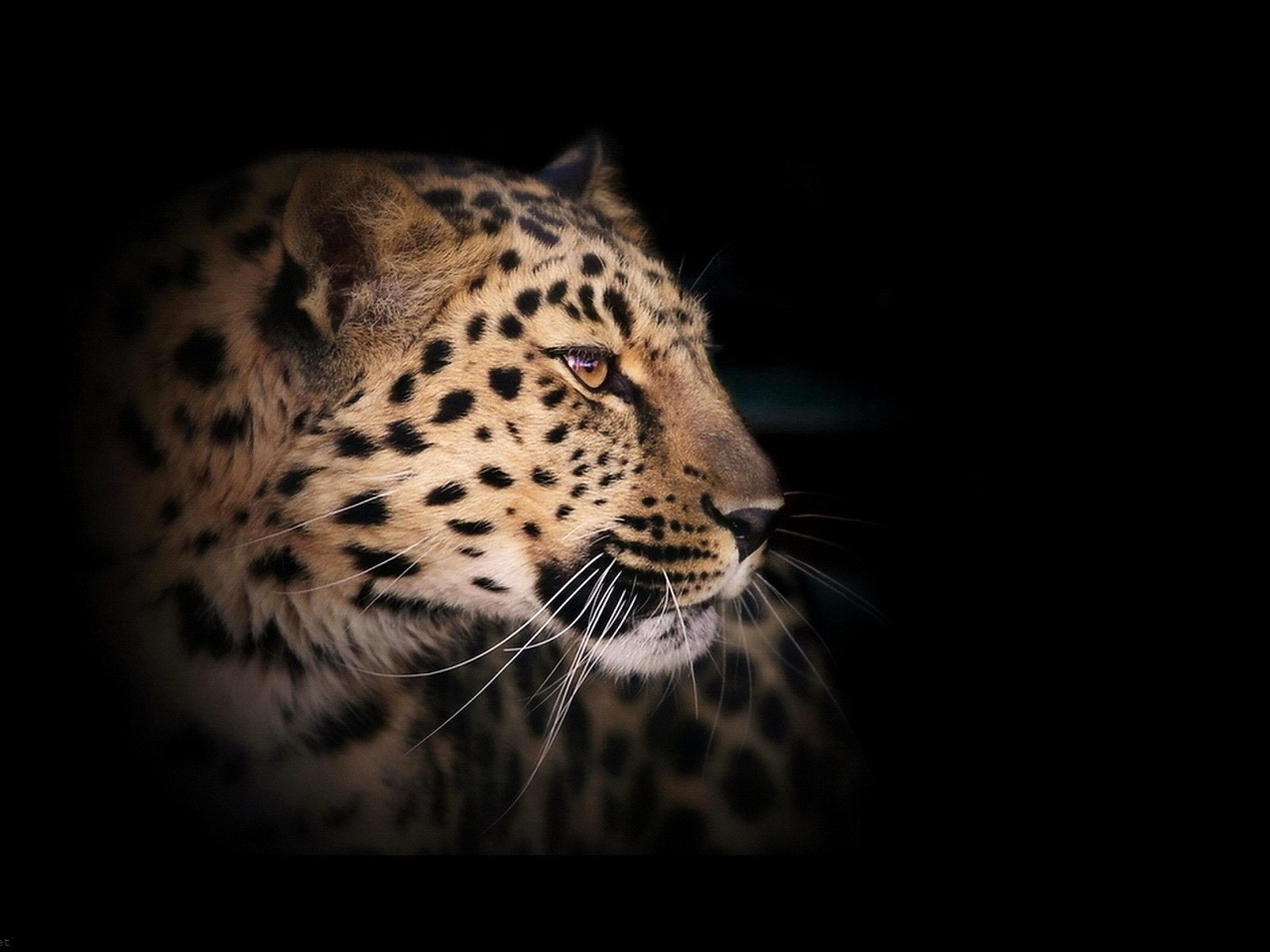 Leopard Wild Cat A Dark