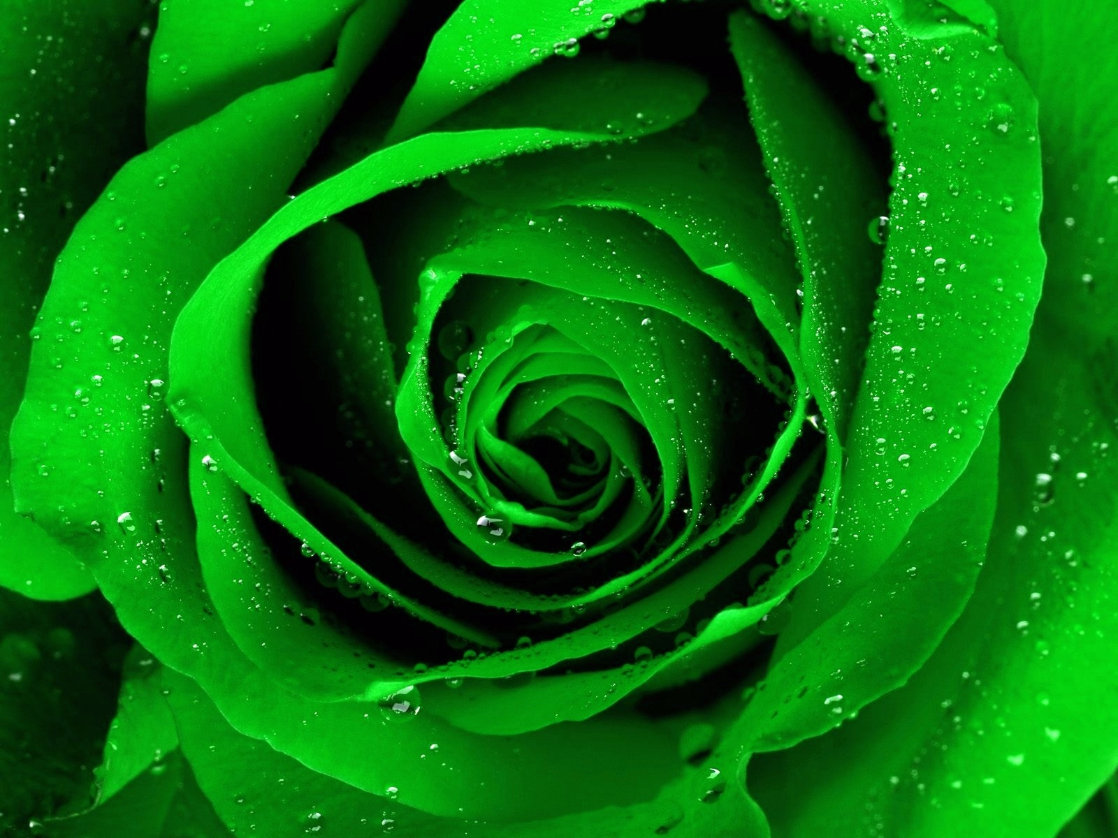 Light Green Roses Light Green Rose Wallp...