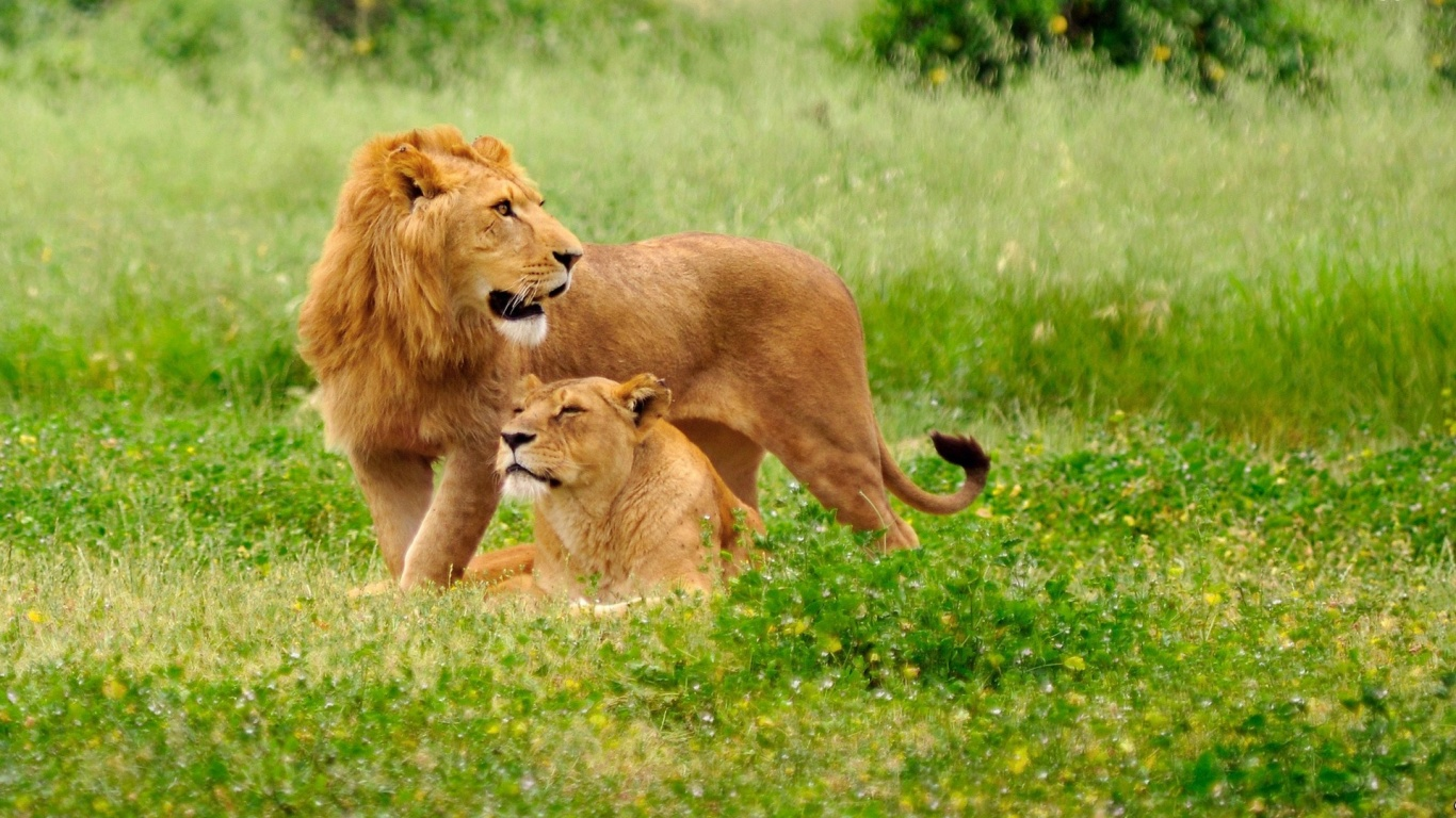 lion and lioness wallpapers   1366x768   432149