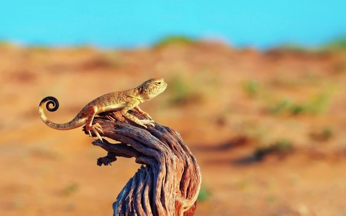 Lizard Tree Stump Desert