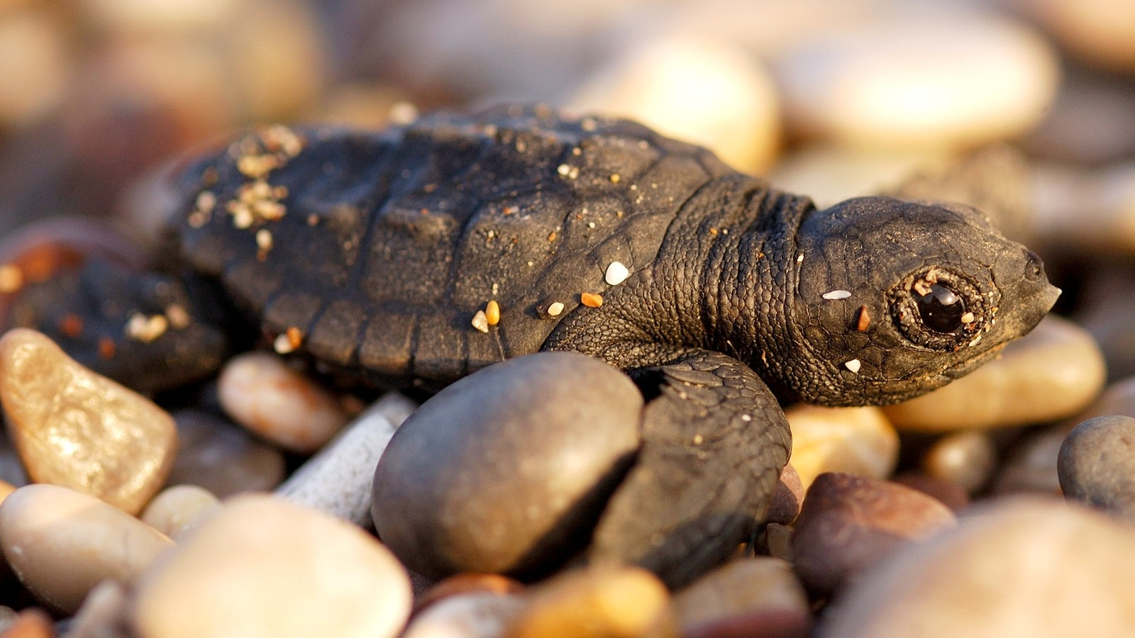 the luggerhead turtles fight for survival in the wild 10 fascinating facts: turtles oct 14 the laying and hatching of leatherback and loggerhead turtles from the moment that they hatch it is a fight for survival.