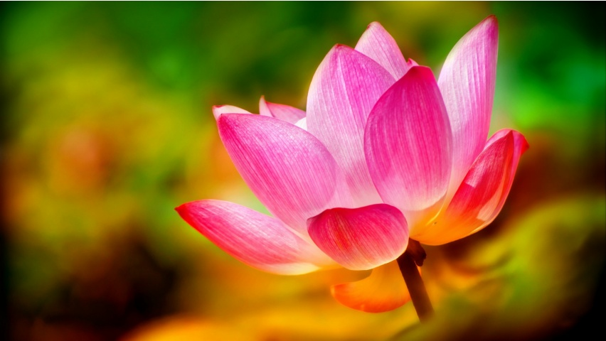 Lotus Pink Petals Background