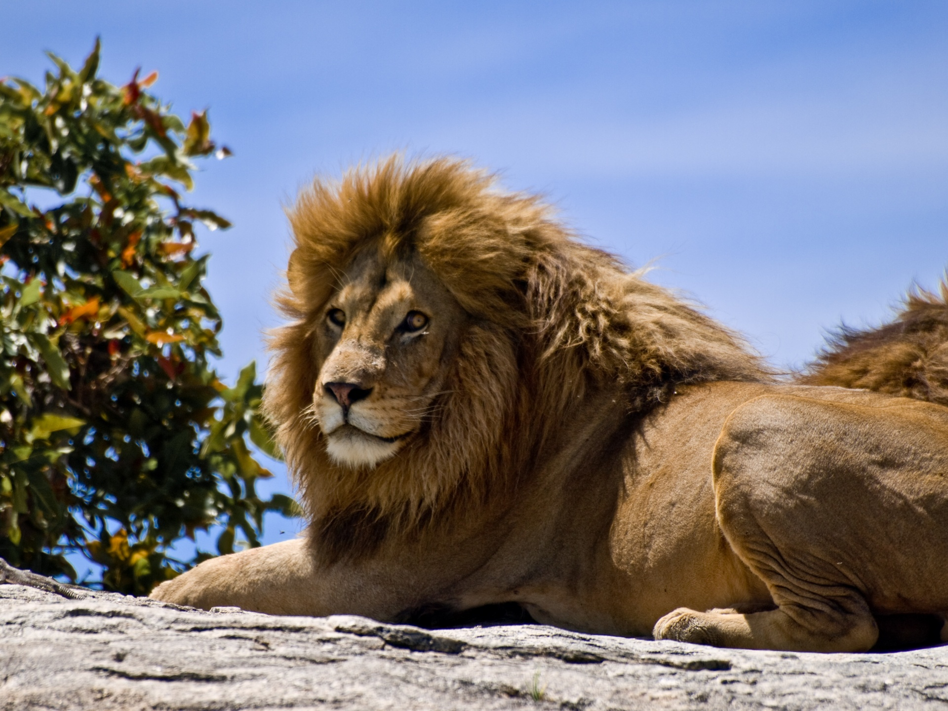 Male Lion On Rock Wallpapers And Pictures