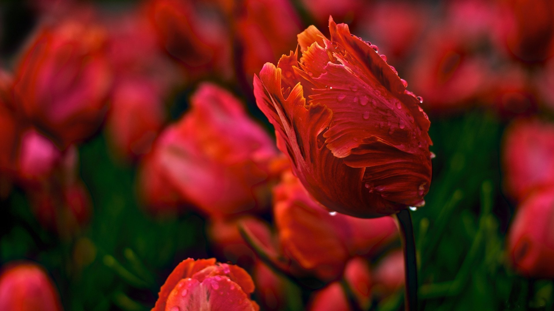 Morning Flowers Tulips Spring Dew