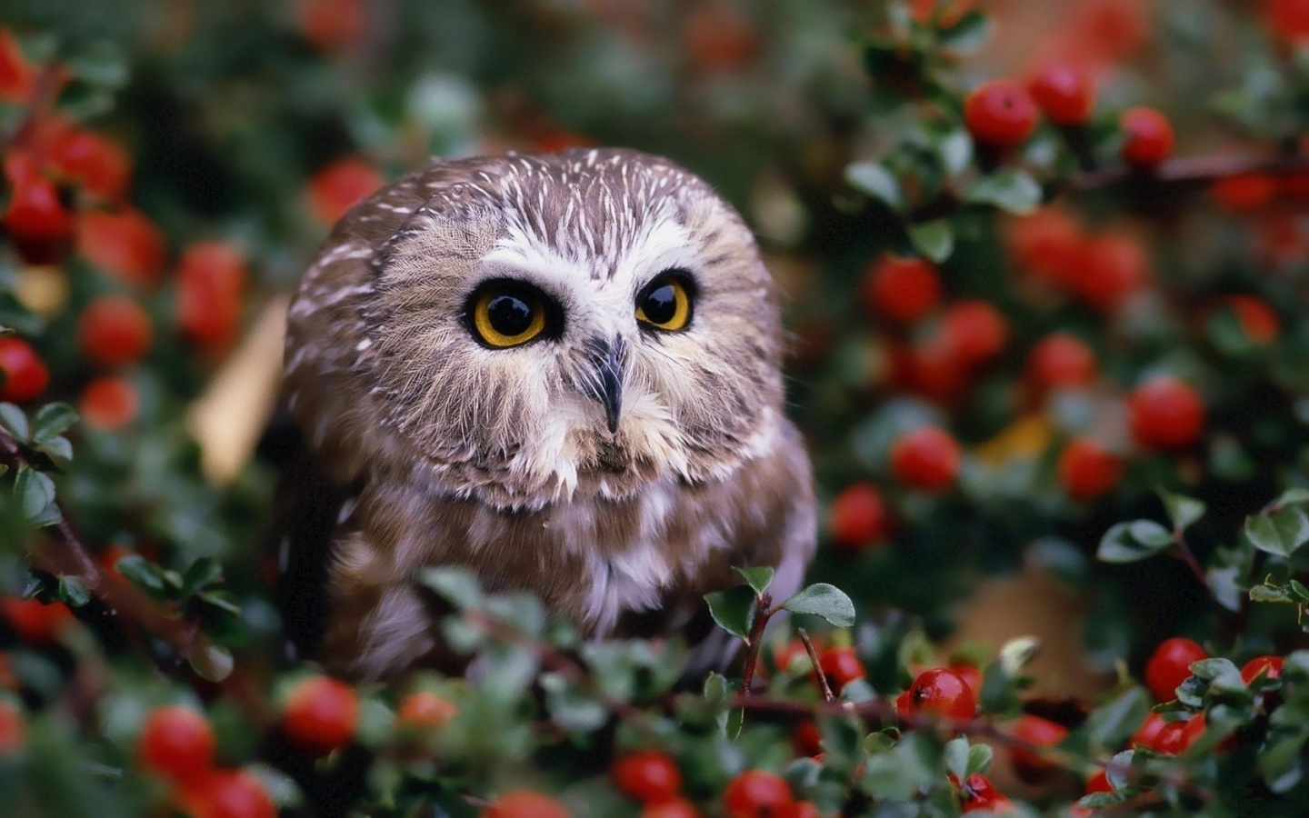 Owl And Red Berries