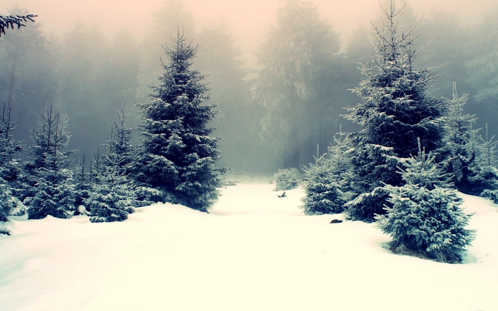 Pine Trees In Snowy Forest