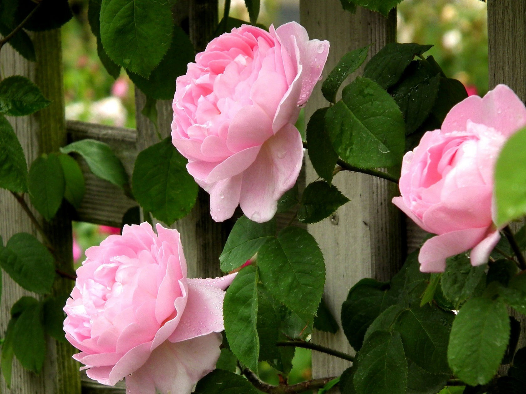 Pink Roses Flowers And Fence