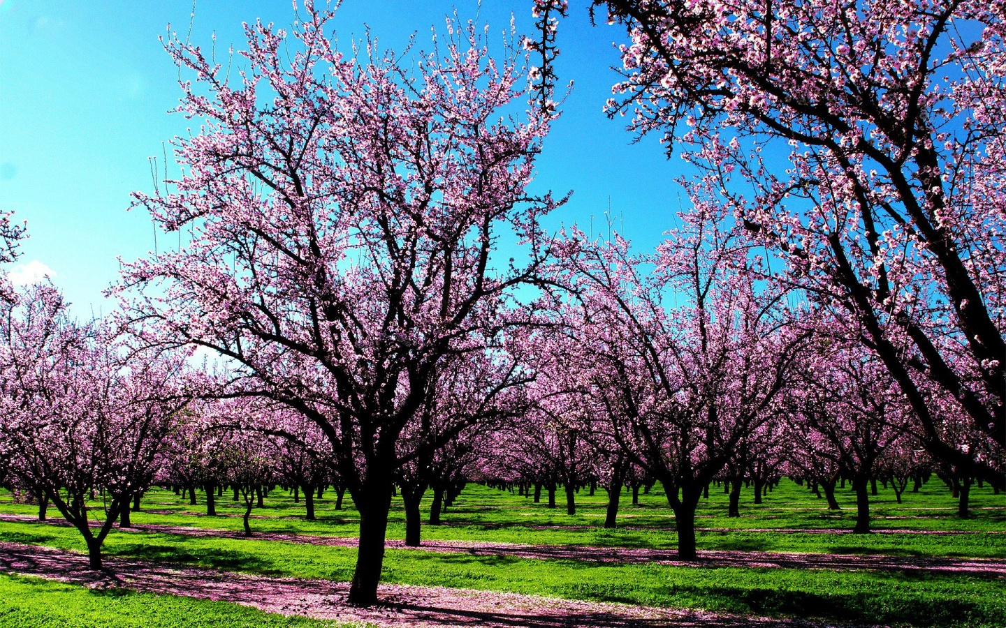 Pink Spring Blossomed Trees