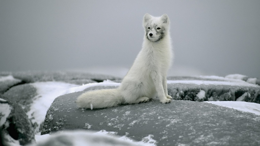 Polar Fox On Stones