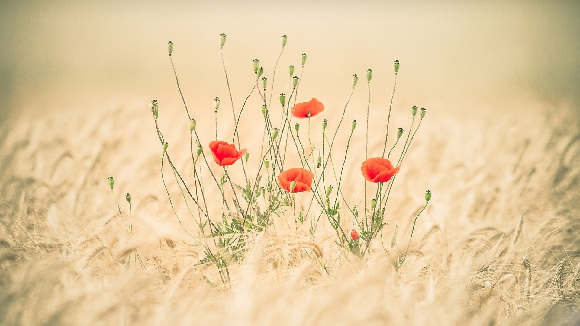Poppies Flowers And Wheat Field Wallpapers  1920x1080