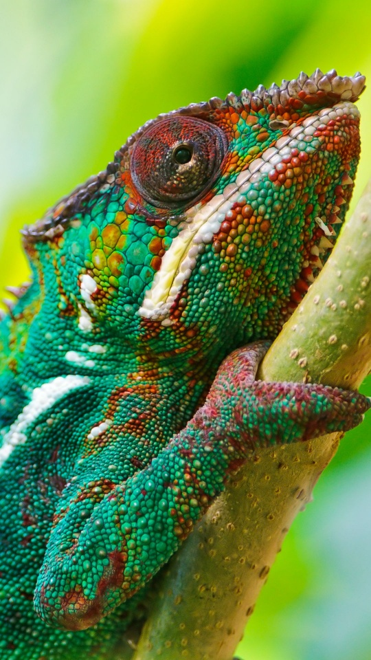 Real Colorful Chameleon