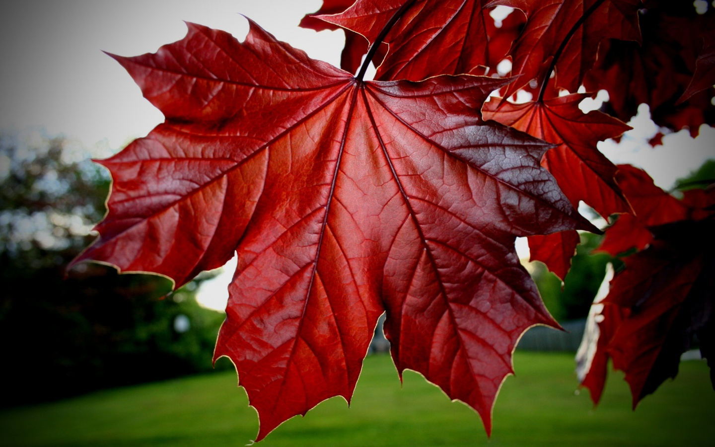 red leaves hd wallpaper - photo #18