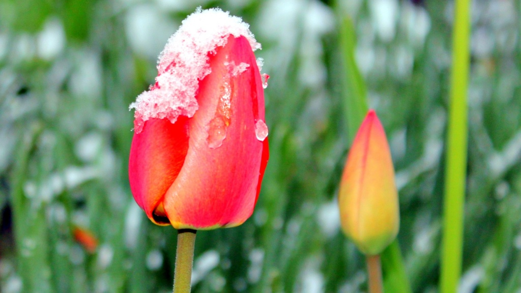 Rosebuds On Snow