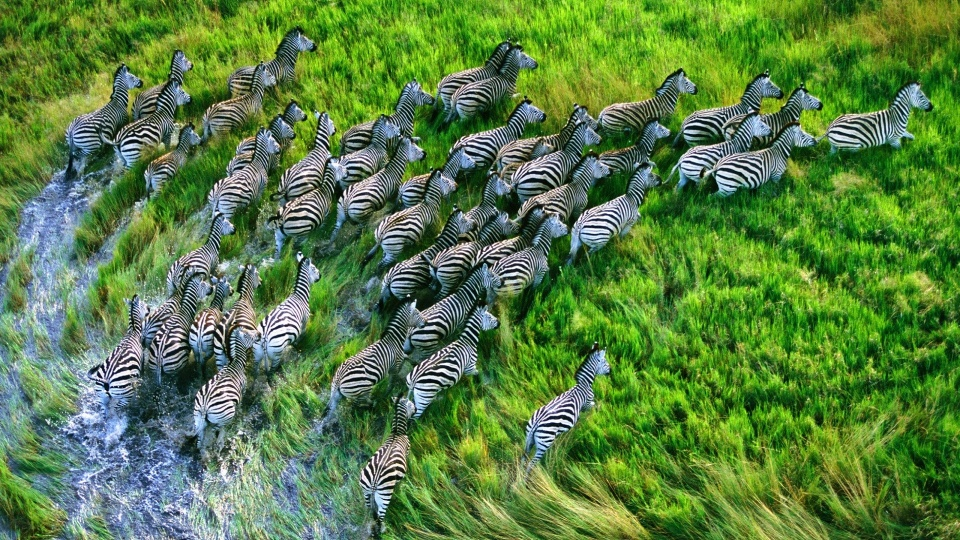 Running Zebras Seen From Above
