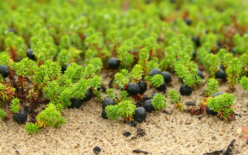 Sand Berries And Dew