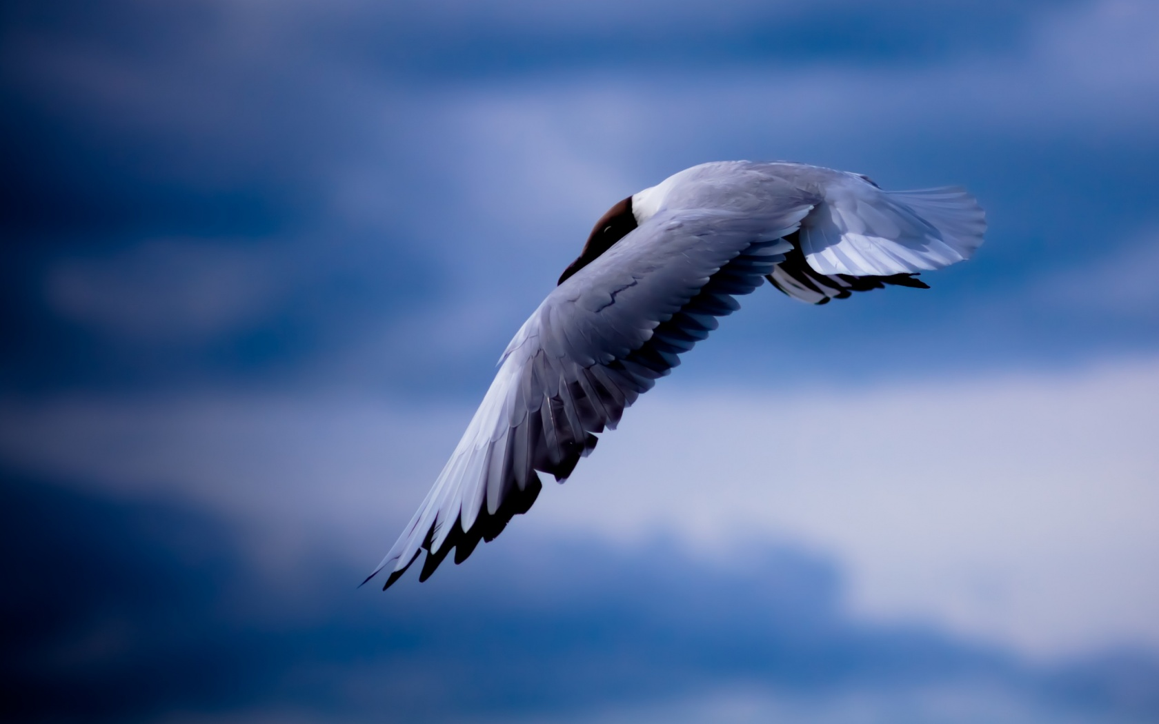 Seagull Bird Flying Blue Sky