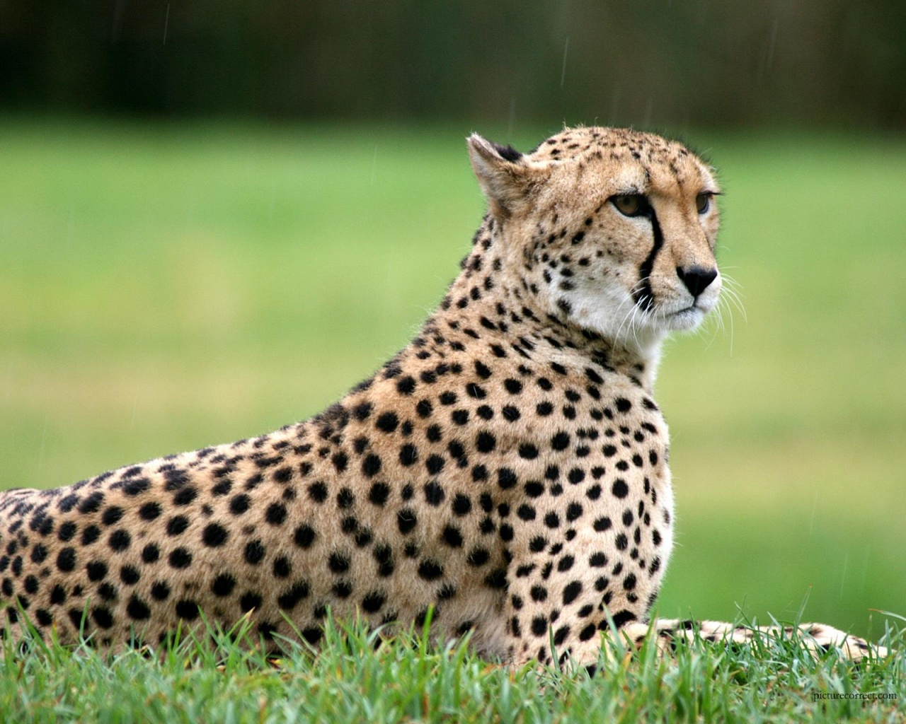 Setting Cheetah