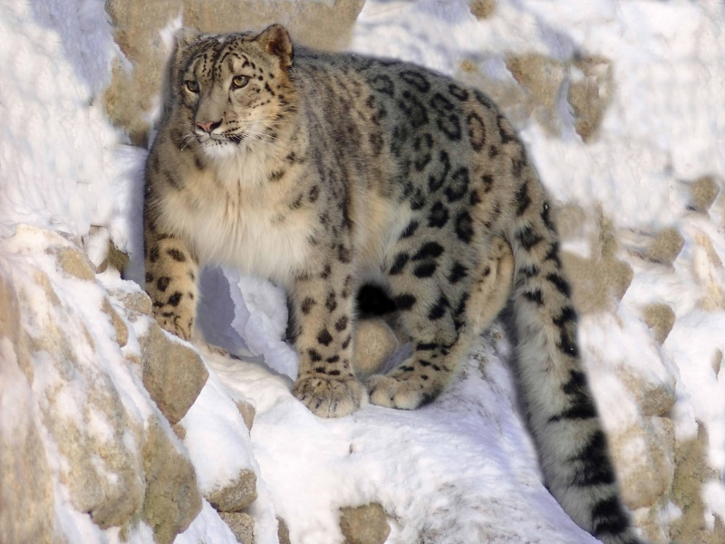 Snow Leopard On A Rock