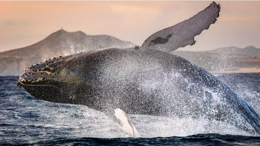 Sperm Whales Jumping