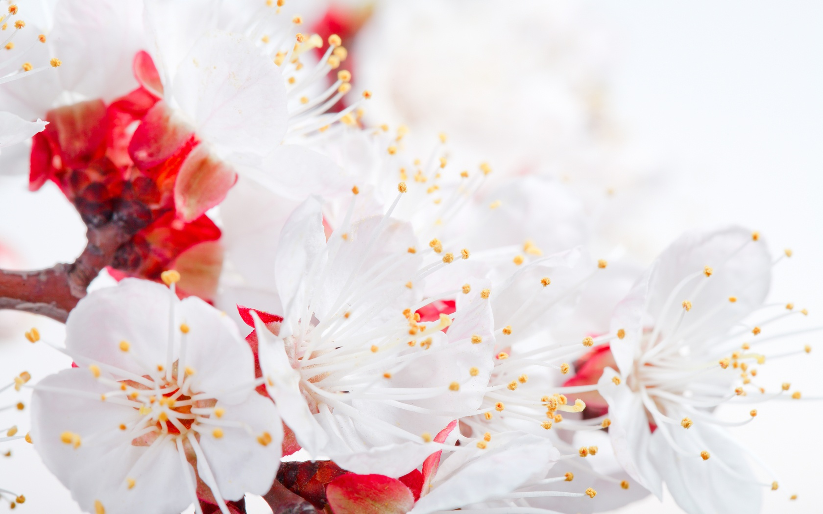 Spring Apple Blossom Branch Wallpapers