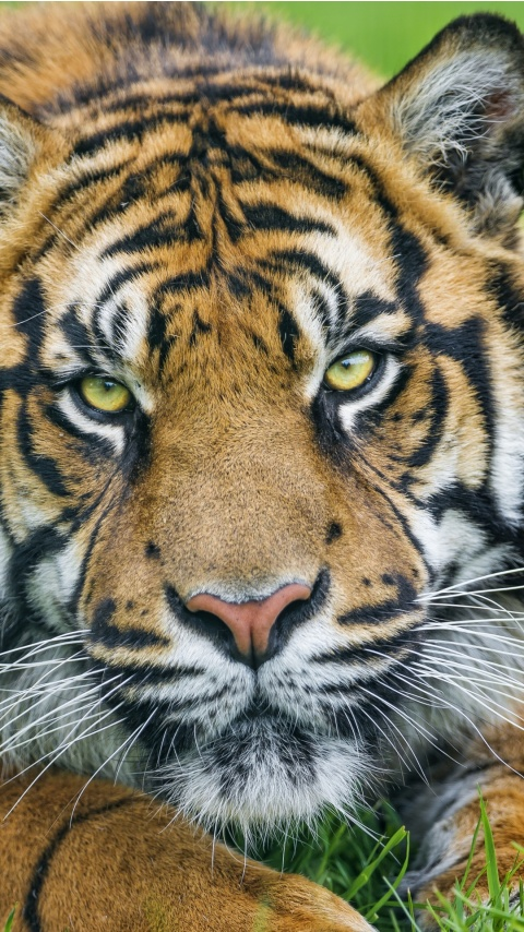 Sumatran Tiger Face