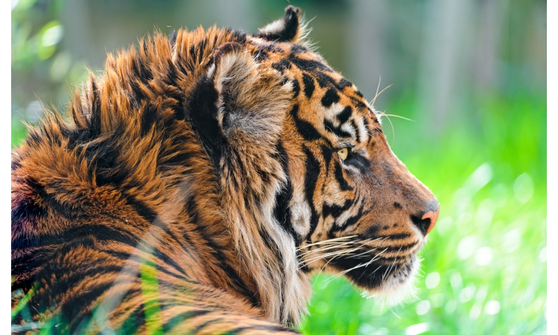 Sumatran Tiger Grass