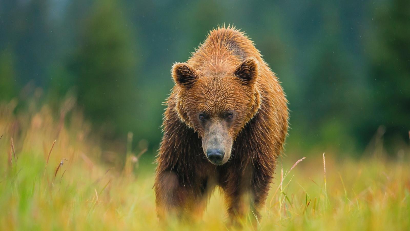 bear wallpapers download