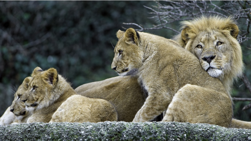 The Three Cubs With Dad