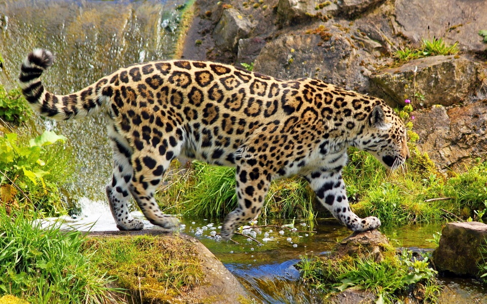 The Wild Jaguar