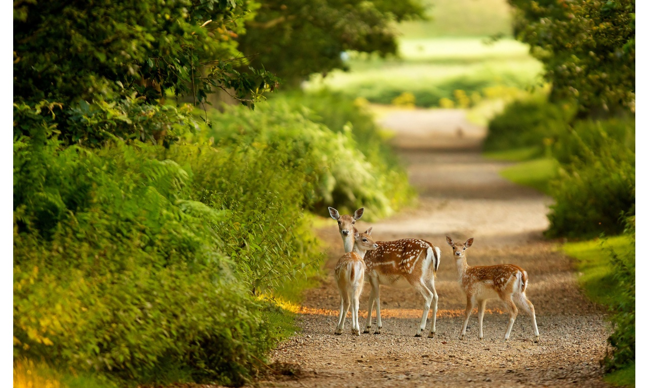 Three Deer In Green Forest