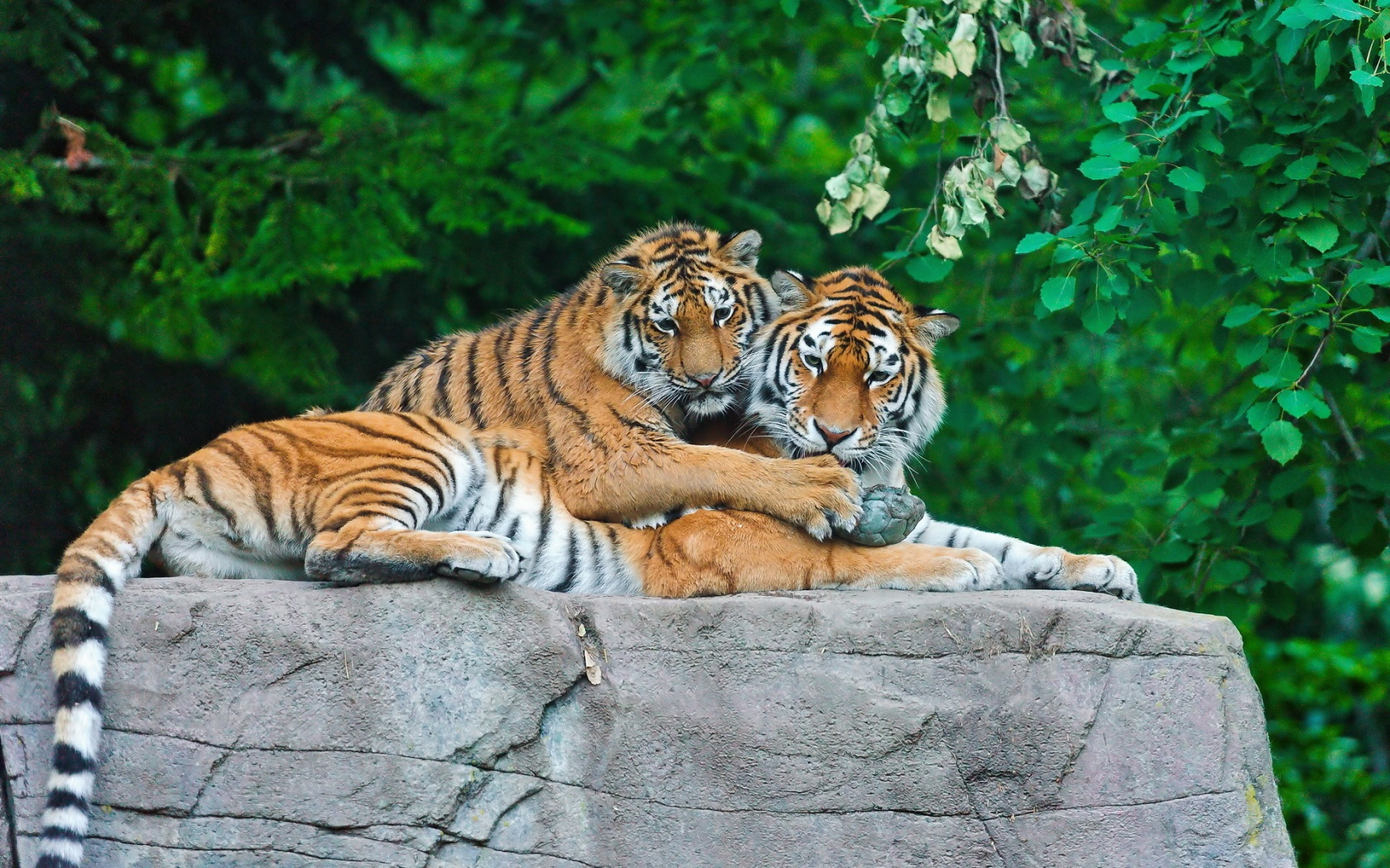 Tiger Family On Stone