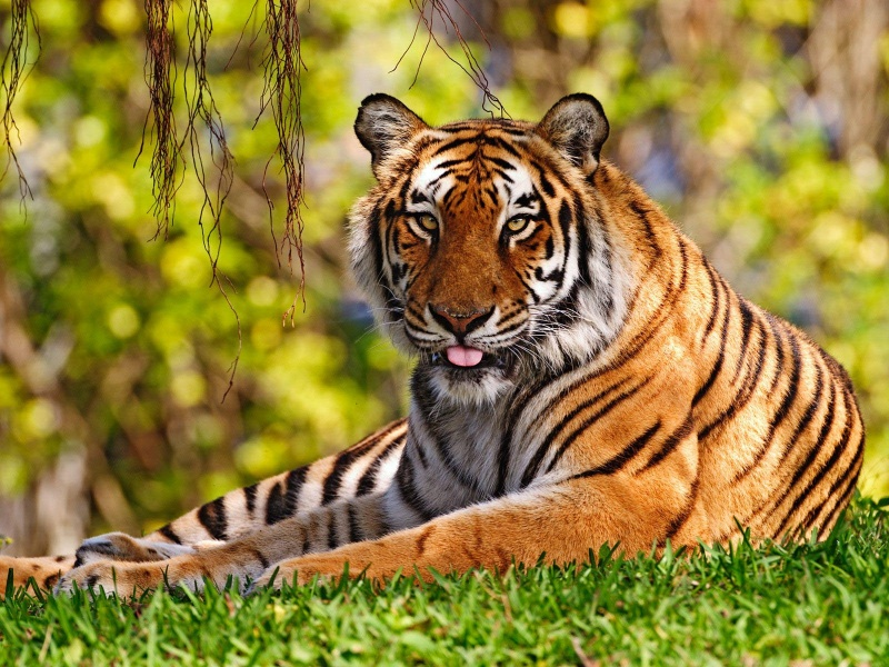 Tiger Relaxing On The Grass