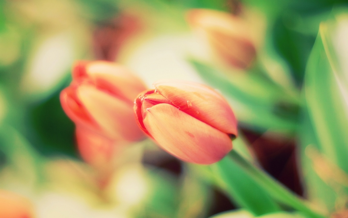 Tulips Flowers Bokeh