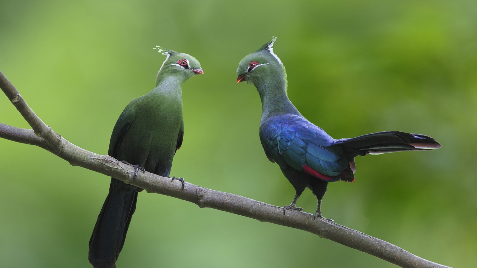 Turacos Couple At Branch
