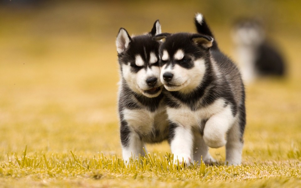Two Husky Dog Puppies
